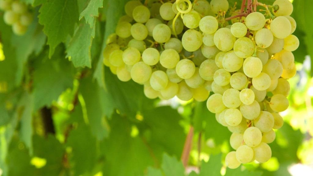 Chardonnay är en mångsidig druva som växer bland annat i Frankrike.