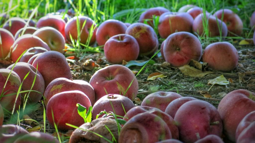 Grävlingar är väldigt förtjusta i fallfrukt, så låt inte äpplen ligga kvar under äppelträdet.