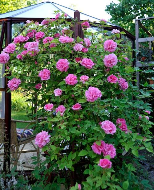 """Klätterros """"Zephirine Drouhin"""" är taggfri och blommar rikligt med stora, rosa blommor med stark doft."""