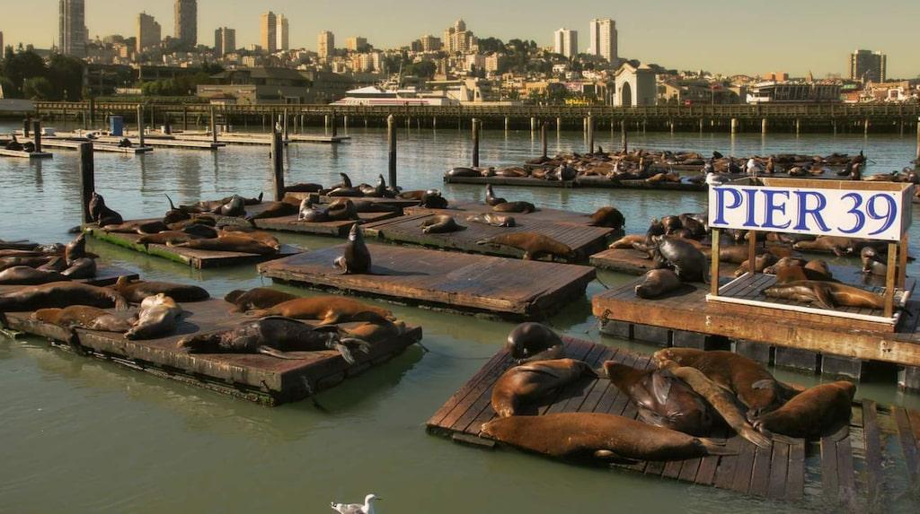 Pier 39 i San Franscisco har tagits över av sjölejon.