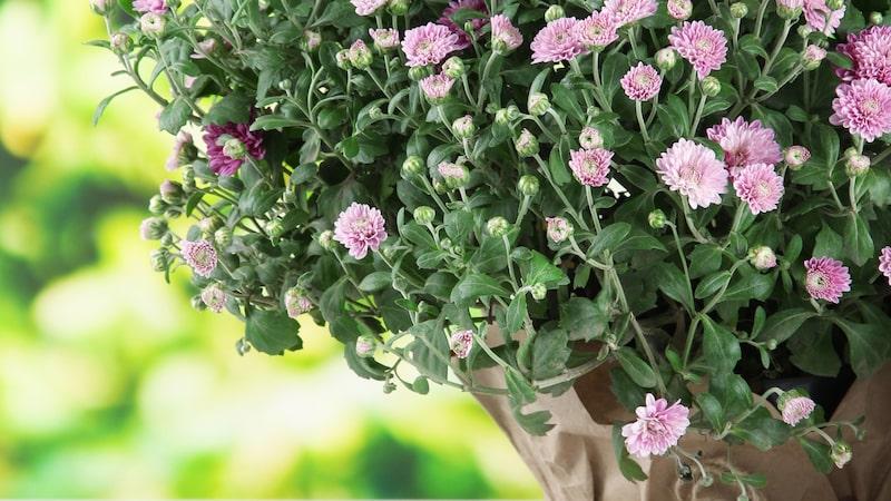 Saknar du vårens blomsterängar? Då ska du skaffa den några bollformade krysantemu.