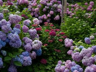 lågväxande blommande buskar