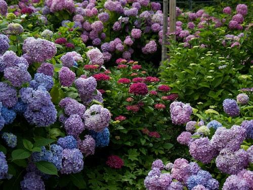 Hortensia kan blomma ända in på höstkanten.