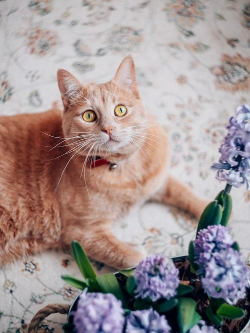 Hyacinter är giftiga för katter.