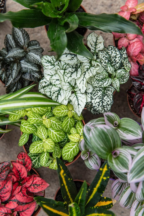 Tropiska växter som pilspetsranka, rosenstänk, ormbunkar, zebrablad och ampellilja är perfekta till ditt terrarium.