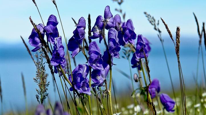 Stormhatten är ett exempel på växt som du verkligen bör se upp för.
