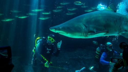Kom i närkontakt med hajar på Two Ocean's Aquarium i Kapstaden.