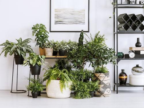 Gröna växter behöver generellt mindre vatten än blommande. Ungefär en gång i veckan är lagom.